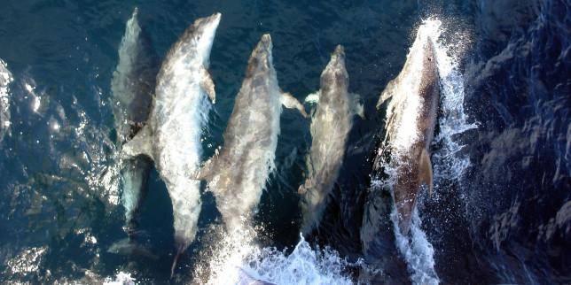 dauphins île de sein